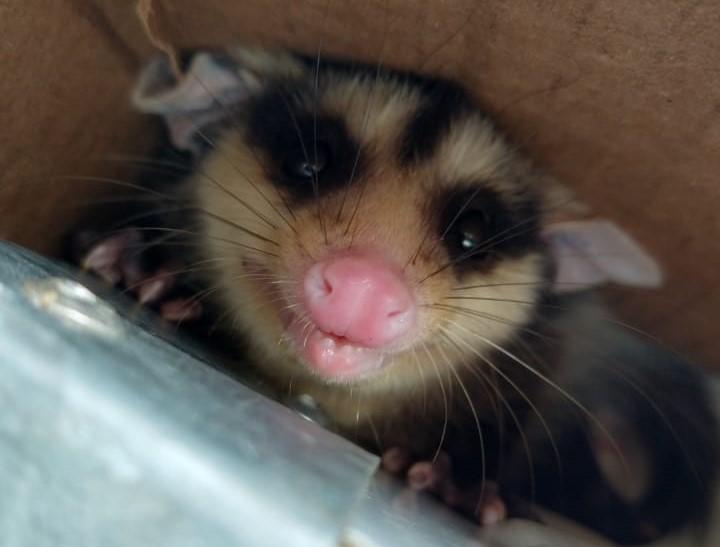 995 animais silvestres foram resgatados em Jaraguá do Sul nos últimos quatro anos – Foto: Divulgação/ND