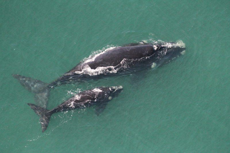 Visitação de baleias francas no litoral catarinense – Foto: Carolina BezamatSCPar | Porto de Imbituba/Divulgação