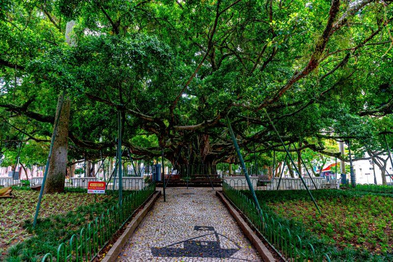 Figueira Centenária, na Praça XV de novembro – Foto: iStock/Divulgação