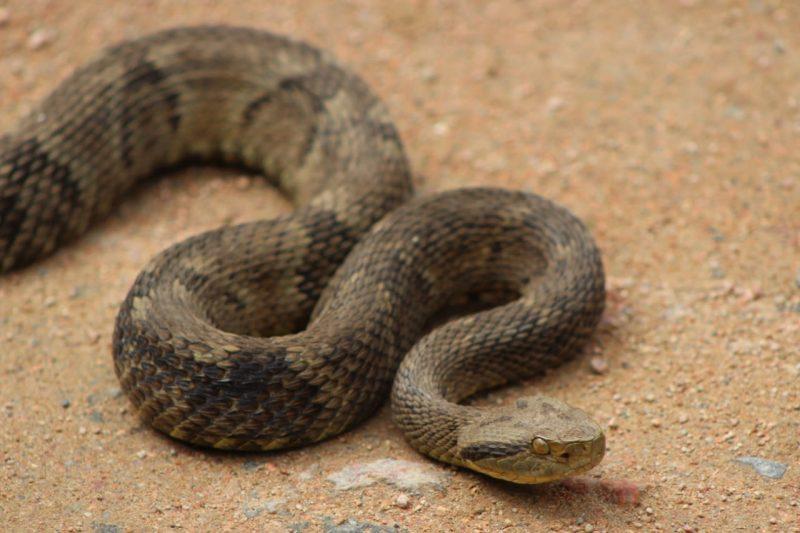 Serpentes ocupam terceira posição na lista dos animais peçonhentos mais perigosos em SC