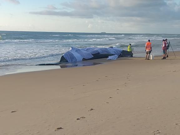 Baleia morreu na manhã desta sexta-feira (11) na Praia Grande – Foto: Jean Dias