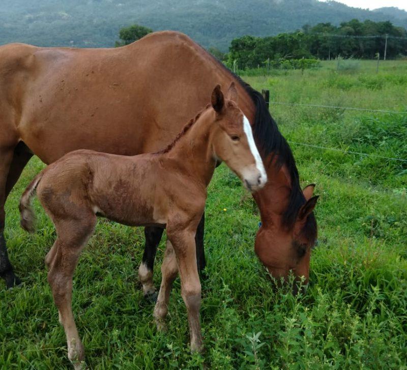 Foto de um cavalo adulto e de um potrinho ao lado. Ambos em uma área de pasto.