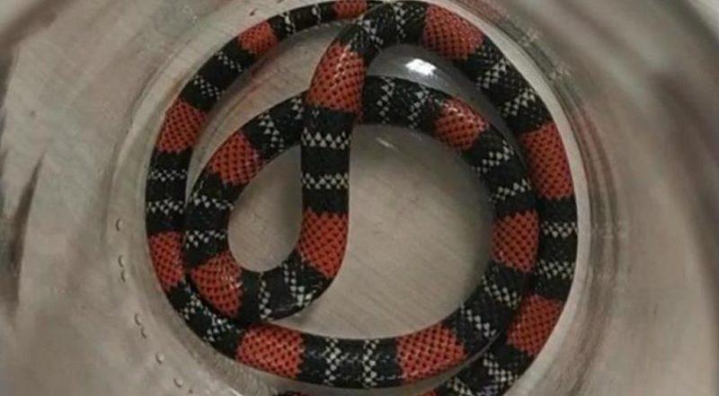 A cobra era filhote. – Foto: Hospital São José/Divulgação