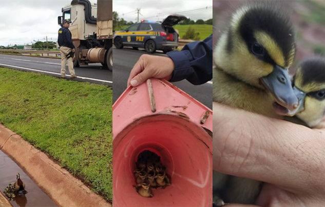 Os agentes orientaram os veículos no local e conseguiram recolher as aves para soltar em um lugar mais seguro. Estes animais são conhecidos como irerê e são considerados animais silvestres. – Foto: PRF/ND