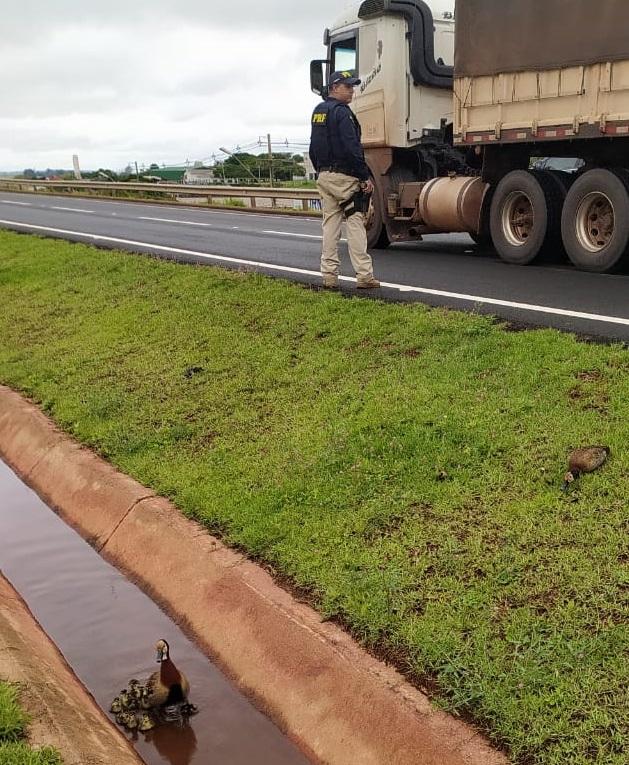Segundo a PRF, os animais foram vistos tentando atravessar a via, por volta das 10h, quando os agentes faziam ronda pela região. A família era formada por um casal de paturis e 11 filhotes. – Foto: PRF/ND