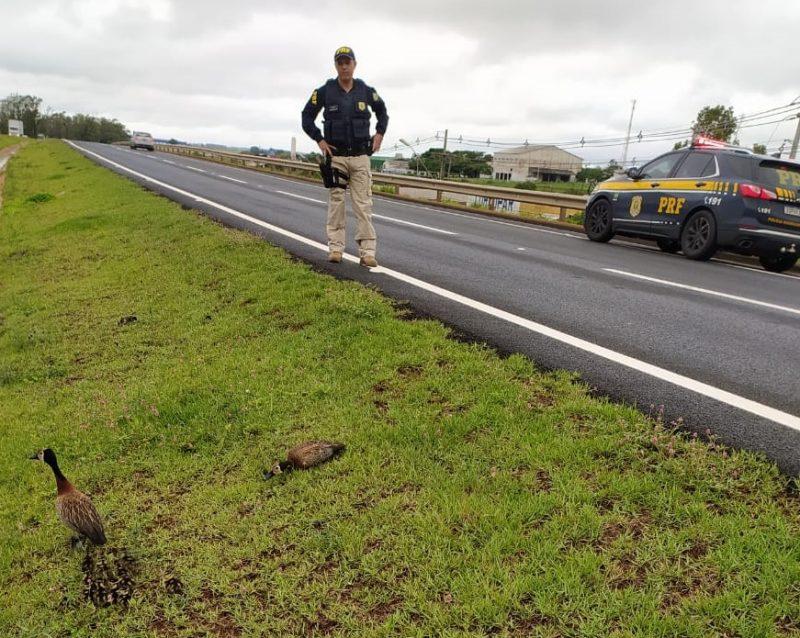 Na manhã de quarta-feira (20), uma família de paturis interrompeu o trânsito na BR-376, em Nova Esperança, na região Noroeste do Paraná. Agentes da PRF (Polícia Rodoviária Federal) auxiliaram na travessia das aves. – PRF/ND