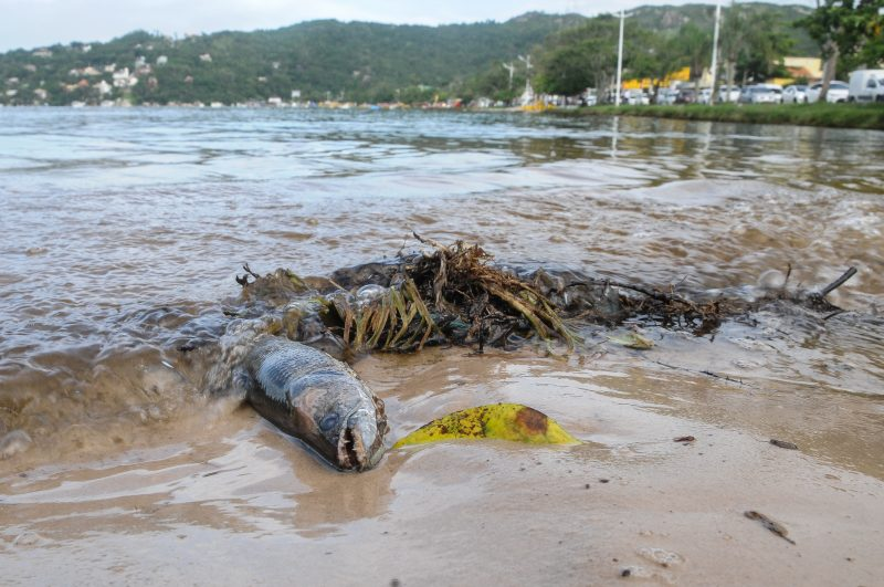 Peixe morto na Lagoa da Conceição