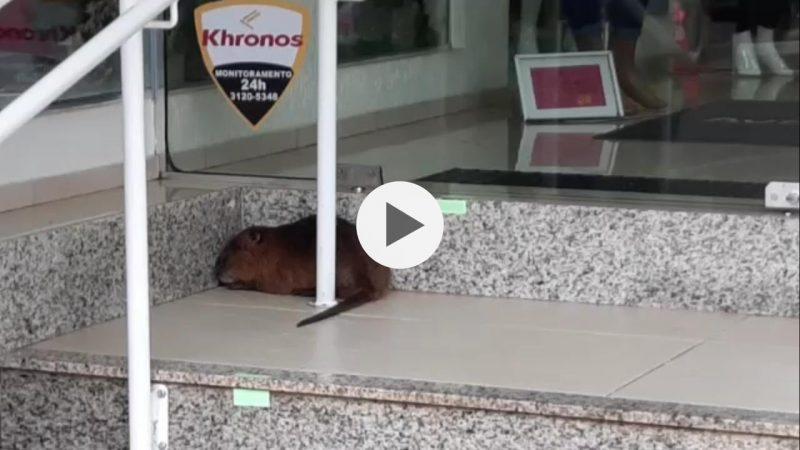 Ratão-do-banhado é capturado pela Guarda Municipal no Centro de Chapecó – Foto: Reprodução vídeo/Diego Antunes/Divulgação/ND
