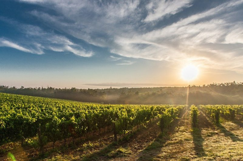 Práticas sustentáveis podem resultar em vinhos de boa qualidade – Foto: Divulgação
