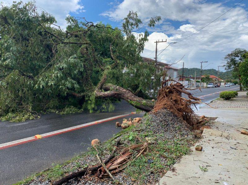 Raízes da árvore ficaram à mostra, comprometendo o trânsito na região – Foto: Alfa Stofelli/NDTV Joinville