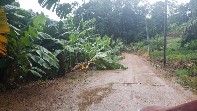 Vento em Corupá danificou algumas plantações de banana – Foto: Heitor Silva/Portal Tim Francisco