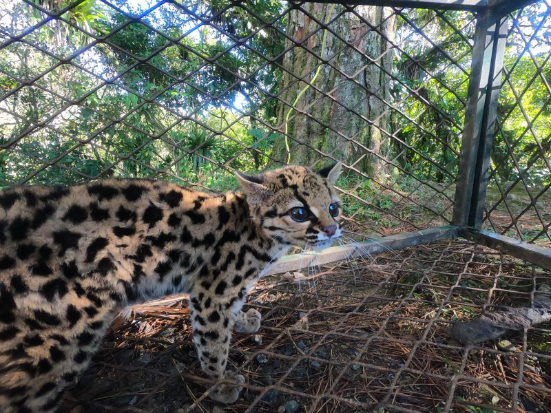 Gato-maracajá está em extinção e foi devolvido ao seu habitat natural – Foto: Christian Raboch/Divulgação/ND