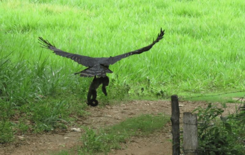 Flagra da harpia carregando o macaco nas garras – Foto: Reprodução