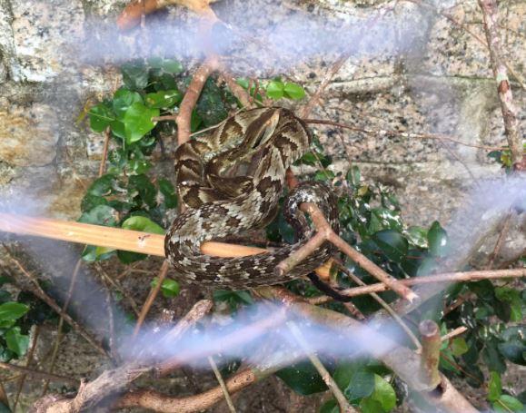 Jararaca foi capturada dentro de um viveiro – Foto: Divulgação/CBMSC/ND