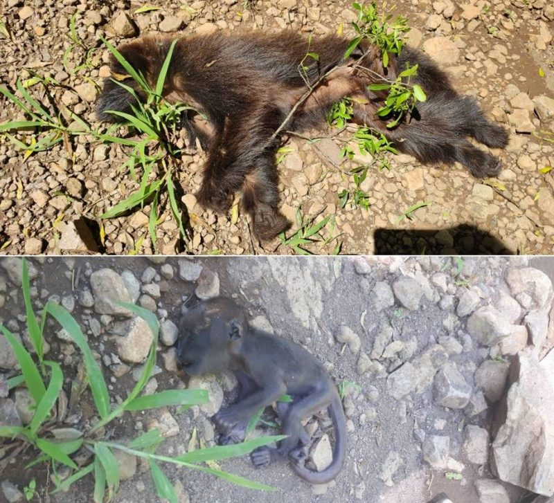 Macacos mortos foram encontrados no interior de Palma Sola – Foto: Prefeitura de Palma Sola/Divulgação/ND