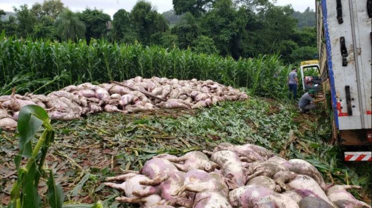 540 leitões com cerca de 30 kg cada morreram após o tombamento do caminhão – Foto: Jornei de Souza/Portal Peperi/Divulgação/ND