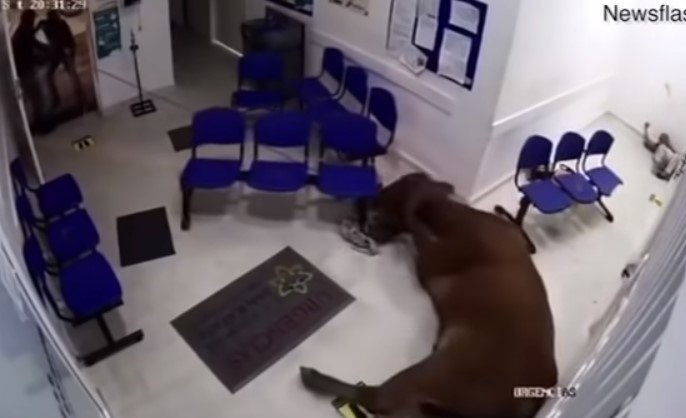 O animal foi retirado após ser puxada por uma corda - Reprodução/Youtube/ND