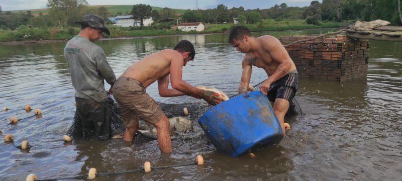 Os piscicultores de Chapecó já começaram a fazer a despesca para a Feira do Peixe Vivo, que começa nesta quarta-feira, em 19 pontos da cidade. – Foto: Prefeitura de Chapecó
