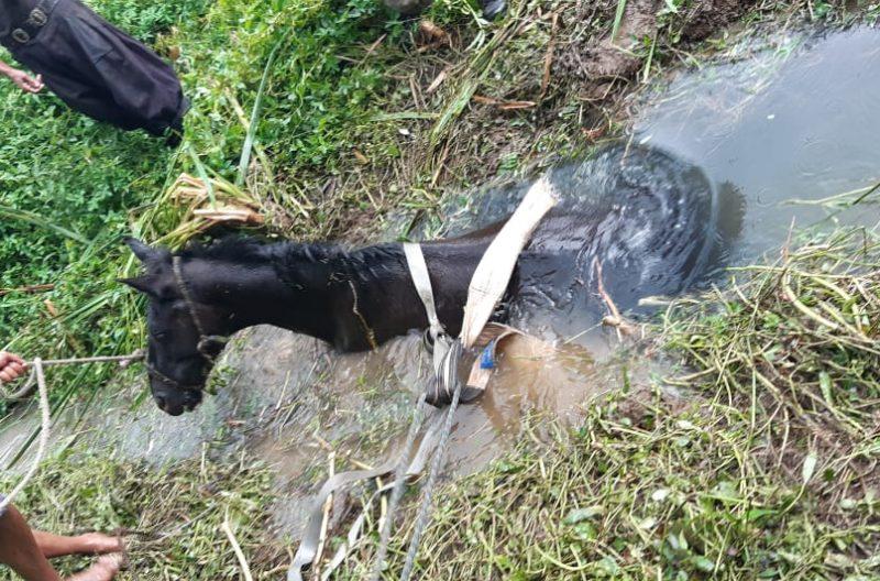 Cavalo ficou atolado no riacho, em Mafra, e não conseguiu sair sem o apoio dos bombeiros – Foto: 9BBM/Divulgação