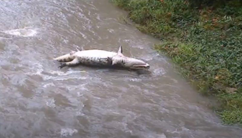 Corpo de um jacaré foi encontrado boiando em maio de 2015 em um braço do rio Cachoeira – Foto: Reprodução vídeo