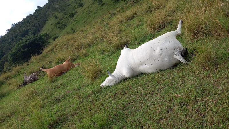 Vacas prenhas morrem eletrocutadas no Vale do Itajaí – Foto: Reprodução/ND