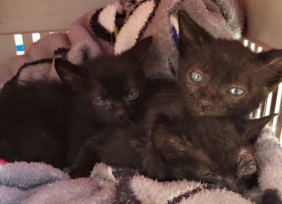 Três filhotes de gatos foram abandonados às margens da SC-283 em Águas de Chapecó, no Oeste de Santa Catarina, no último fim de semana. Eles foram encontrados dentro de uma caixa de papelão na tarde de domingo (7) durante patrulhamento da PMRv (Polícia Militar Rodoviária). – Foto: PMRv/ND