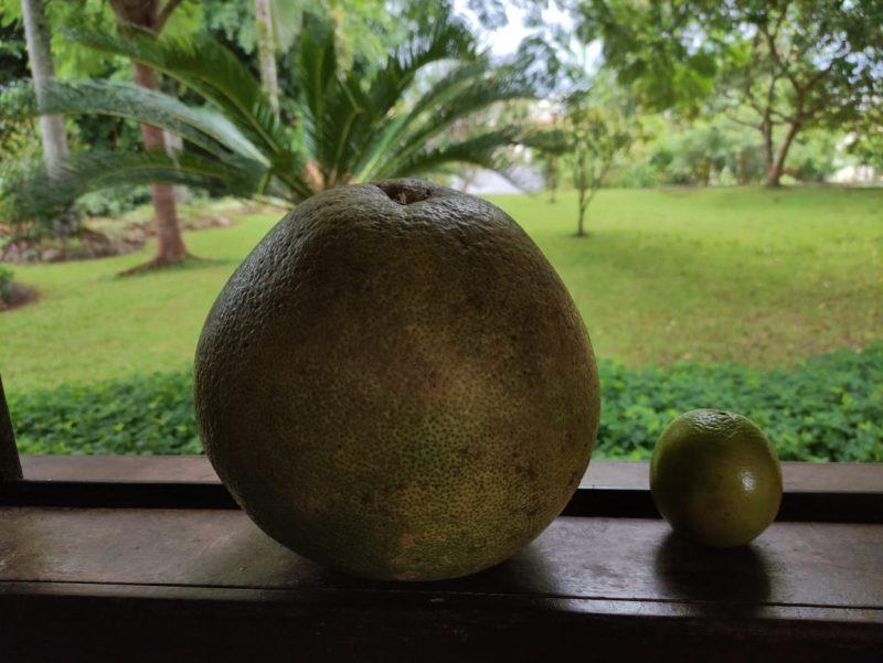 Laranja é quase o triplo dos frutos de tamanho normal – Foto: Arquivo pessoal