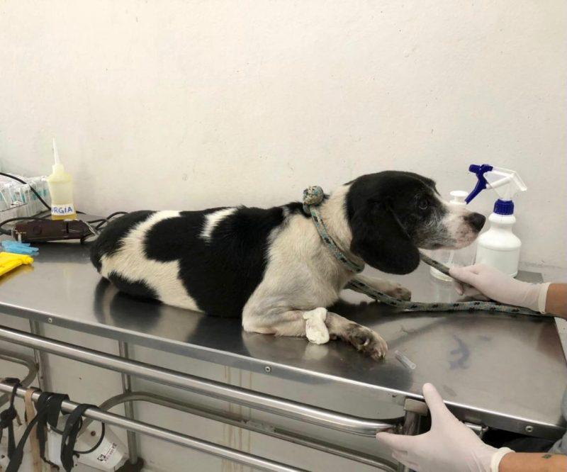 Cachorrinha Magda sofreu uma fratura na pata traseira – Foto: PMF/Divulgação/ND