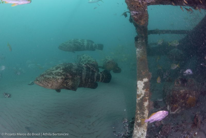 Peixes foram avistados na última semana em São Francisco do Sul – Foto: Athila Bertoncini/Projeto Meros