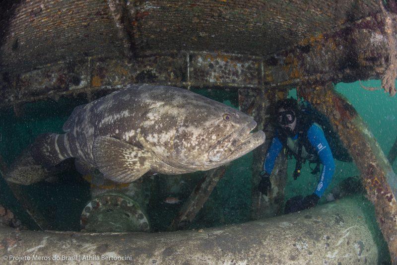Desde 2014 a espécie entrou na lista vermelha do Ministério do Meio Ambiente – Foto: Athila Bertoncini/Projeto Meros