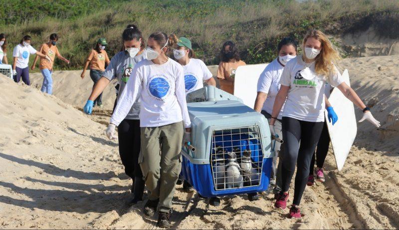 Os pinguins aguardavam a reabilitação total e o processo de muda das penas para que fossem liberados – Foto: R3 Animal/Divulgação/ND