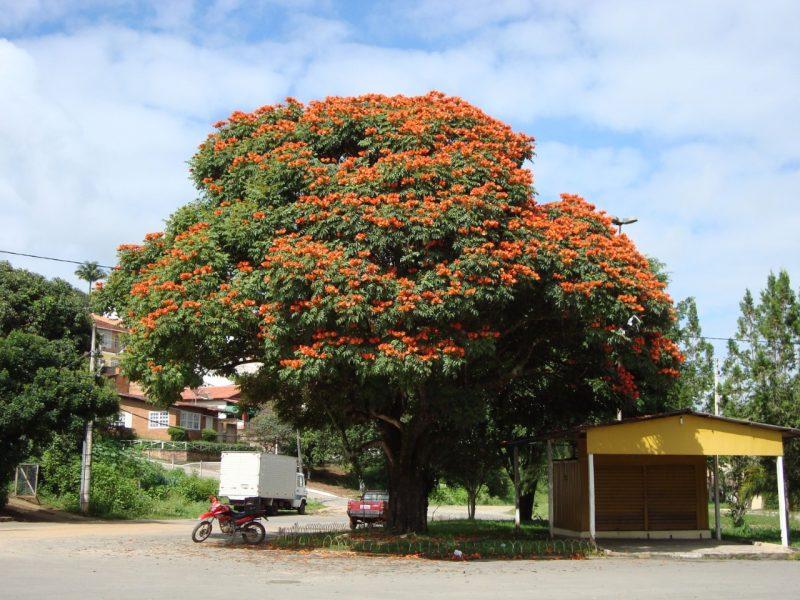 Árvore bisnagueira pode estar com os dias contados em Joinville – Foto: CVJ/Divulgação