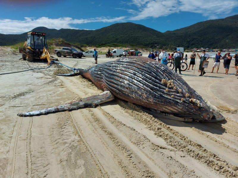 Baleia-jubarte fêmea encontrada morta no Pântano do Sul – Foto: Nilson Coelho/R3 Animal/Divulgação/ND