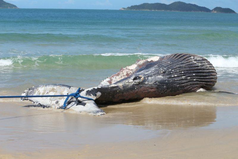Baleia era um indivíduo juvenil e estava bastante magro – Foto: Nilson Coelho/R3 Animal/Divulgação/ND