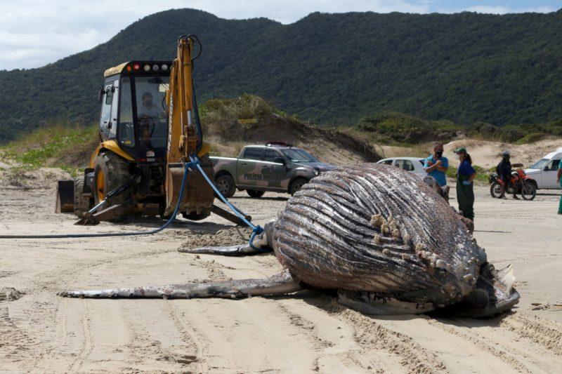 Animal foi rebocado com retroescavadeira e enterrado no local, após passar por necropsia – Foto: Nilson Coelho/R3 Animal/Divulgação/ND