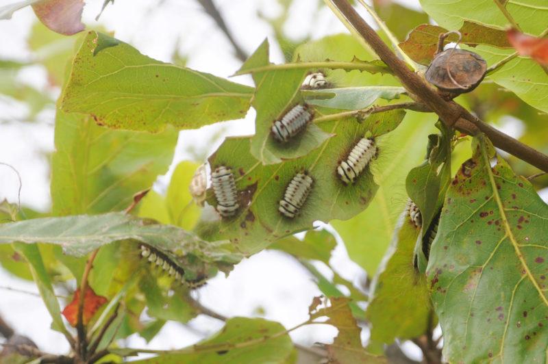 A lagarta, de nome megalopyge lanata pertence a família megalopygidade onde apresenta cerdas pontiagudas, curtas e que contêm as glândulas de veneno, entremeadas por outras longas, coloridas e inofensivas. – Foto: Léo Munhoz/ND