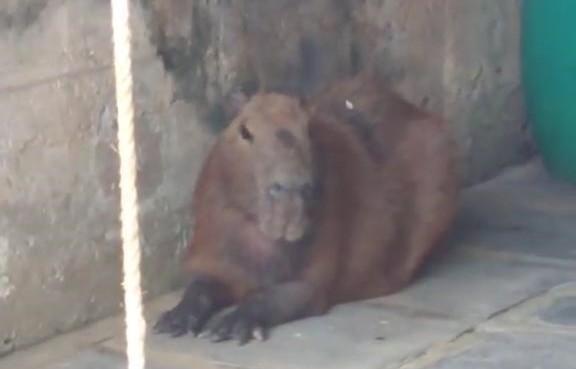 Ainda na sessão animal, uma capivara de 57 kg deu as caras em uma casa em Jaraguá do Sul. O resgate dela também deu trabalho, como mostra um vídeo publicado no ND+ – Foto: Reprodução/Christian Raboch