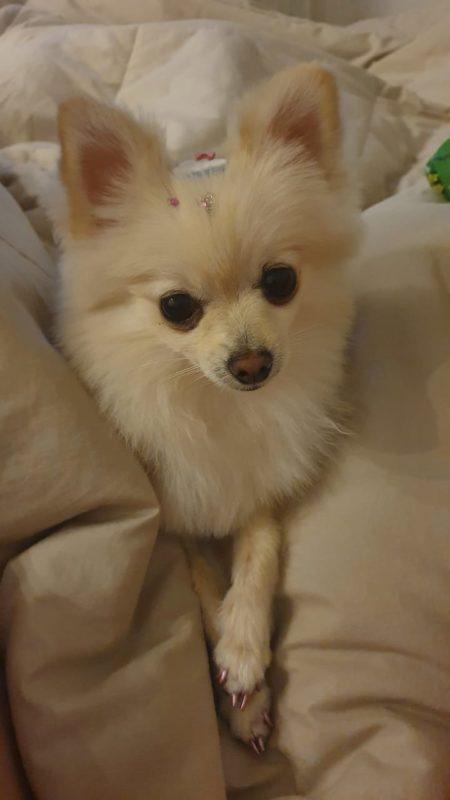 E para finalizar a nossa galeria do Pet News desta semana tem a Cristal, que estava toda produzida para acompanhar ao Ver Mais. O registro é do Carlos, segundo ele, a cachorrinha é a alegria da casa. – Foto: Especial/ND