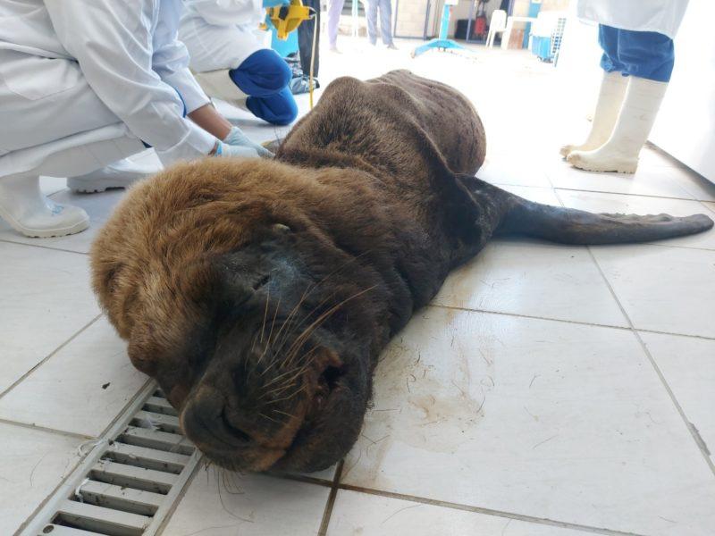 Exames de leão marinho devem ficar prontos em até dois meses – Foto: Nilson Coelho/R3 Animal/Divulgação/ND