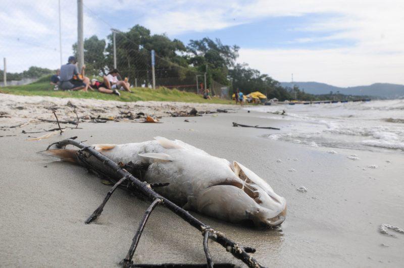 Peixe morto estava na beira d'água, na Lagoa da Conceição, no domingo (11) – Foto: Leo Munhoz/ND