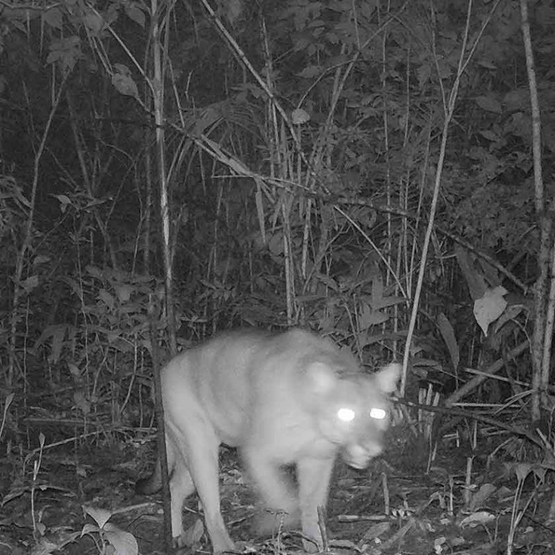 O puma, também conhecido como onça-parda, é outro felino ameaçado de extinção. Nessa foto, um deles foi flagrado pelas lentes da Fujama em uma rara aparição pela região. A perda de habitat e a caça também são motivos para a espécie estar ameaçada – Foto: Fujama/Divulgação