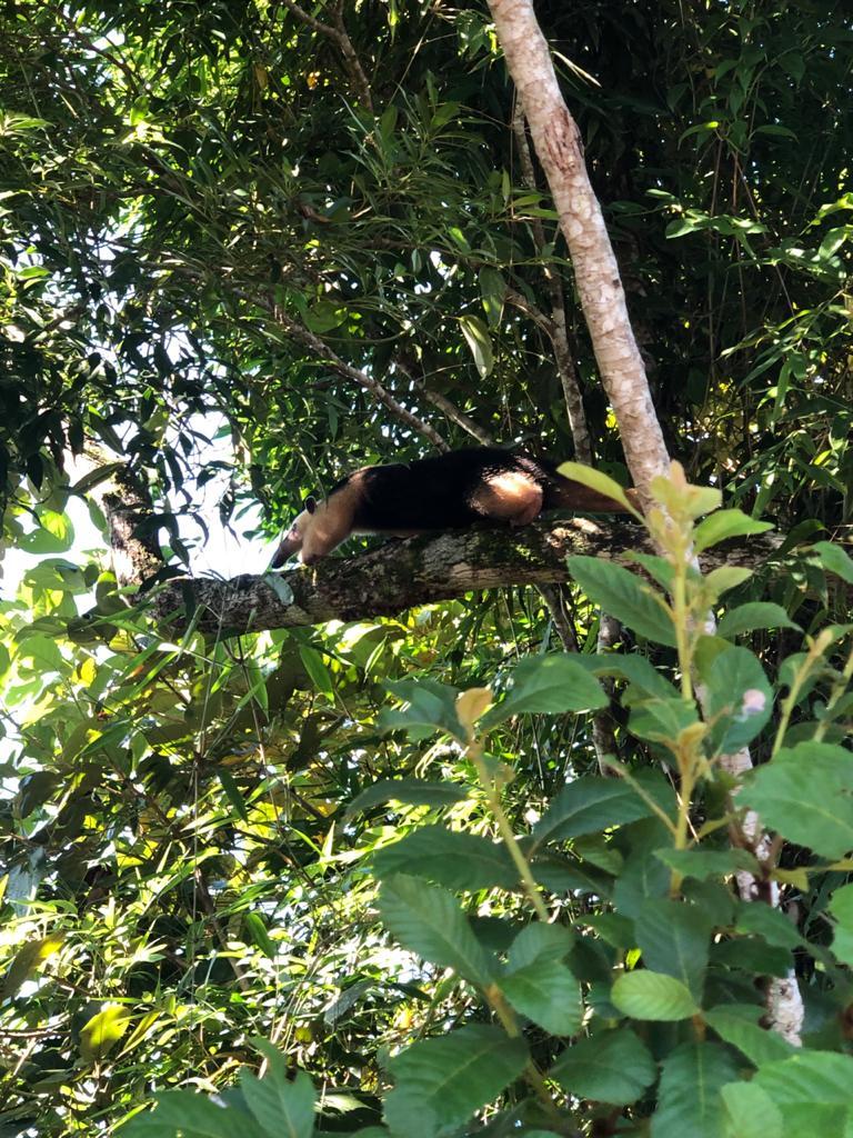 Após o resgate, o tamanduá-mirim foi devolvido à natureza - Divulgação/Corpo de Bombeiros