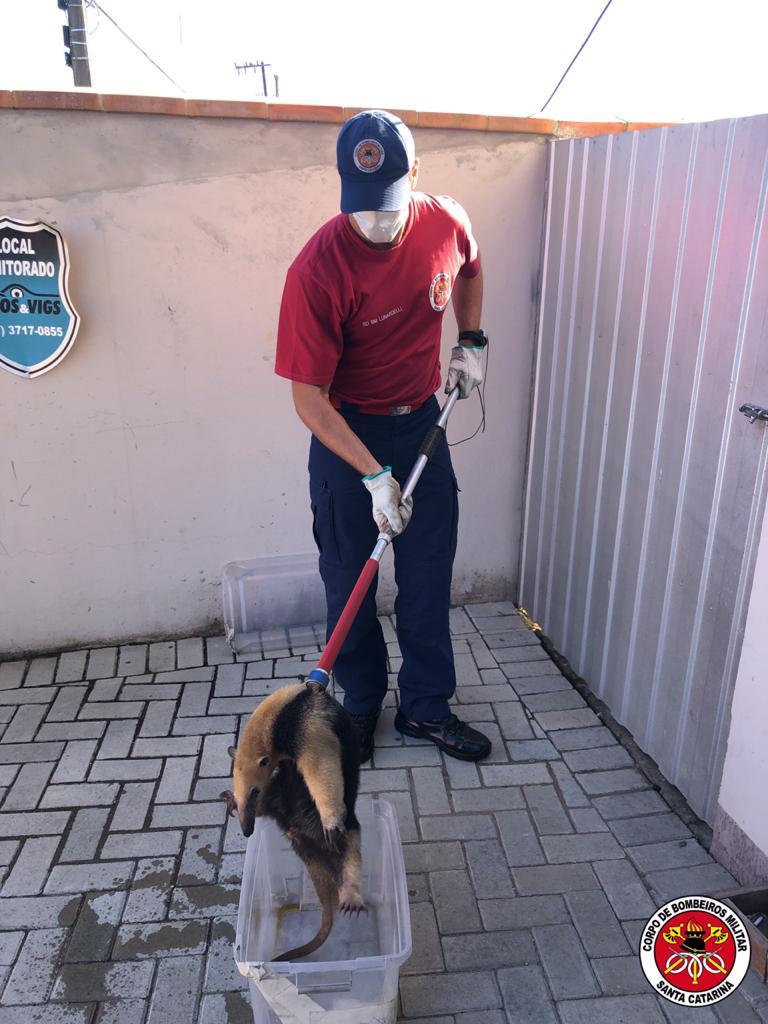 Os bombeiros foram chamados para resgatar o pequeno tamanduá-mirim que estava perdido pelas ruas - Divulgação/Corpo de Bombeiros