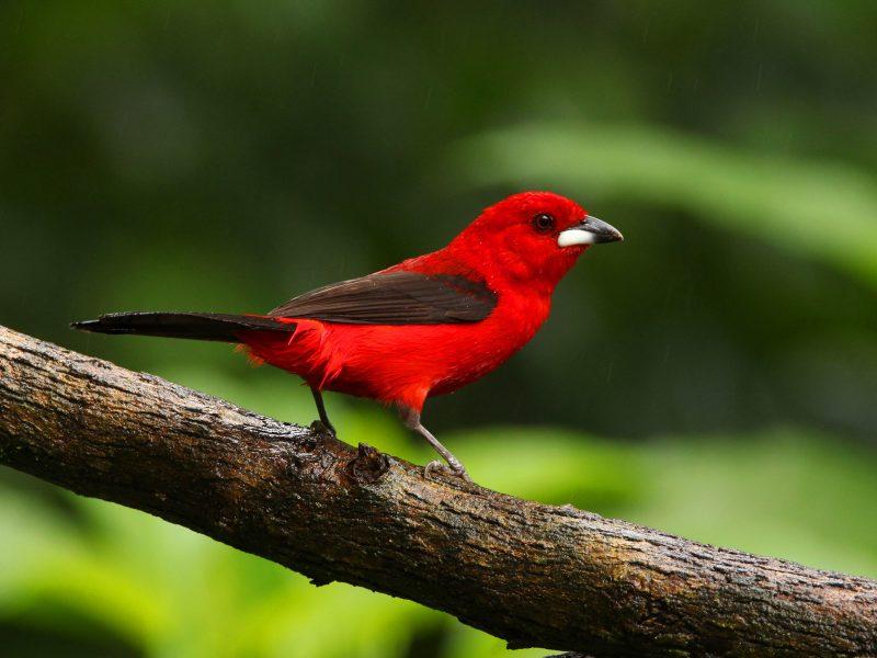 Lindo o tiê-sangue, né? Pois é justamente a beleza dela que faz tanta gente querer colocá-lo numa gaiola. Por isso, o pássaro é outro animal na lista dos ameaçados de extinção no Norte de SC – Foto: Alexsatsu/Wikimedia Commons