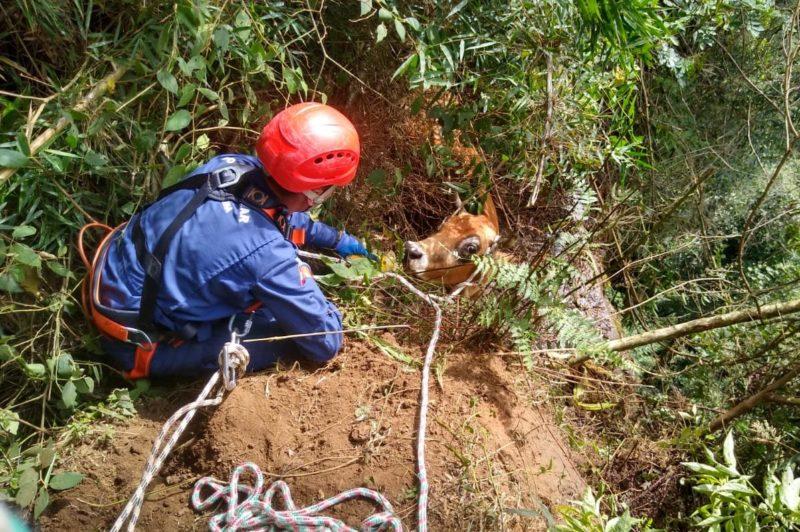 Vaca é resgatada após ficar pendurada em encosta com quase 50 metros de altura em SC – Foto: Divulgação/OBM Ituporanga