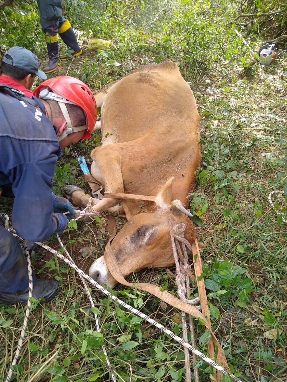 Vaca é resgatada após ficar pendurada em encosta com quase 50 metros de altura em SC - Divulgação/OBM Ituporanga