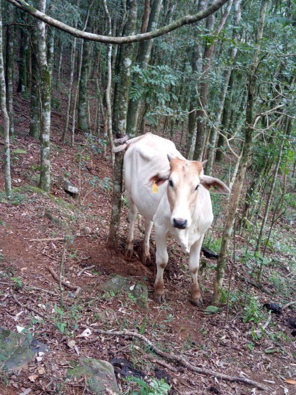 Novilha ficou presa por horas após dar rabada e prender o rabo em uma árvore – Foto: Rádio Capinzal/Divulgação