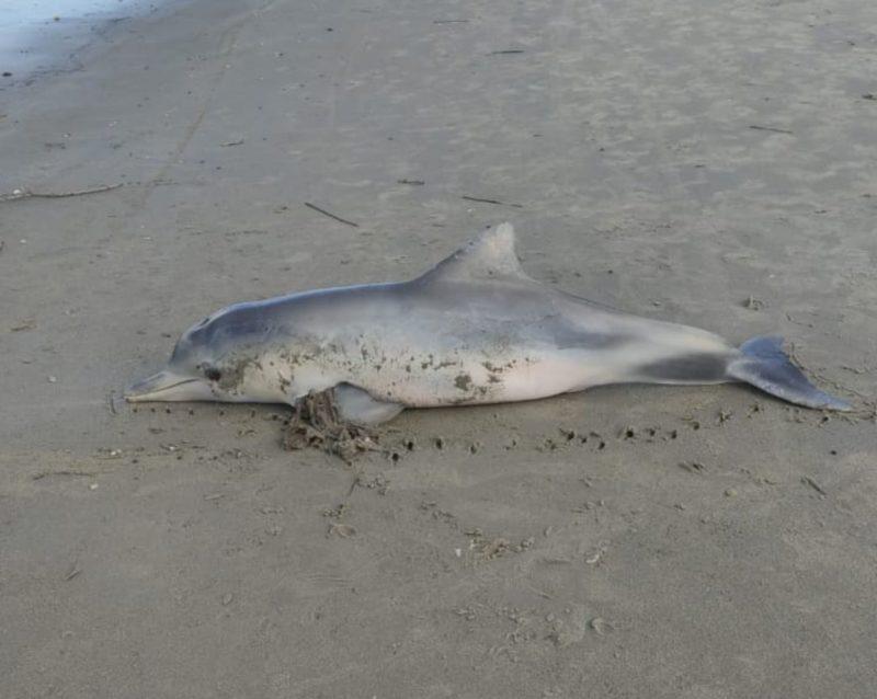 Boto foi encontrado morto na orla da praia de Itapoá – Foto: PMP/BS Univille/Divulgação