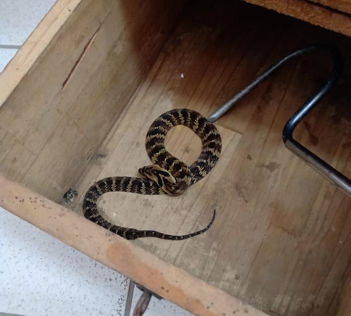 Cobra foi capturada em escola de Guaramirim – Foto: BVG/Divulgação