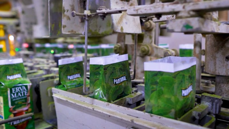 Produção de erva mate é potência desde a Guerra do Contestado – Foto: Reprodução/NDTV